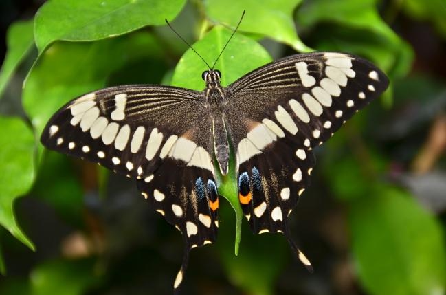 American Swallowtail